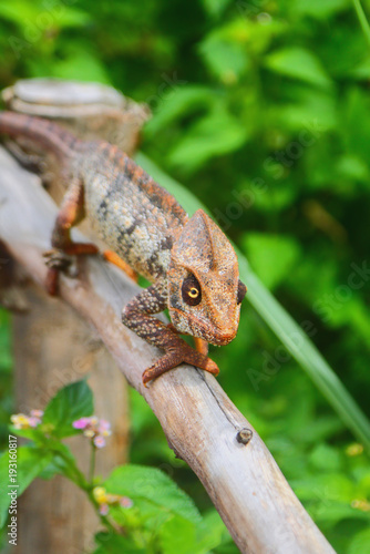 Aluminium Kameleon Chameleon on protection from dry tree