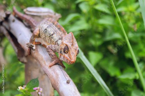 Fotobehang Kameleon Chameleon on protection from dry tree. Amber Mauntin, Diego-Suarez, Madagascar