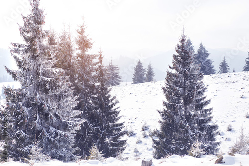 Plexiglas Lavendel Winter wonderland snow on fir trees