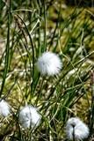 cotton grass (Eriophorum scheuchzeri) growing in Greenland, Ilulissat - 193165266