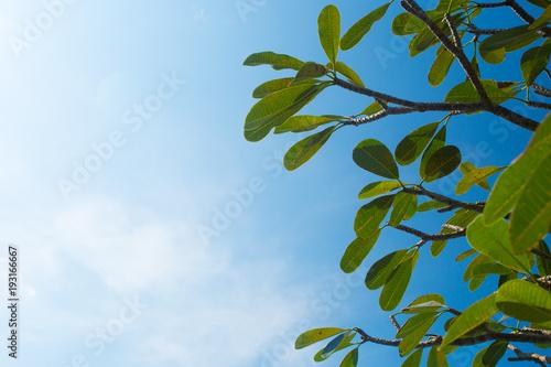 Plexiglas Plumeria Frangipani tree branches against clear blue sky