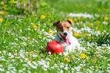 Jack russel terrier puppy on flower meadow playing with red ball. Happy Dog with funny gaze