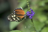 Butterfly pollinating a purple flower. Close up of a butterfly with patterned wings on a flower. - 193169019