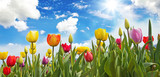 Glück, Lebensfreude, Frühlingserwachen, Auszeit, Leben: Buntes, duftendes Blumenfeld mit Tulpen m Frühling :) - 193169664