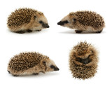 Young hedgehog set isolated on white background - 193175028