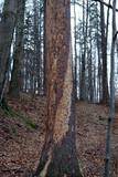 skręcony okorowany pień drzewa