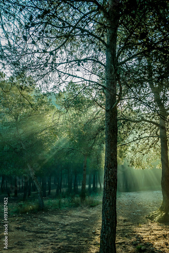Foto op Canvas Olijf Sunrise with sunbeams illuminating the pine forest floor