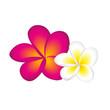 Quadro frangipani pink und weiß