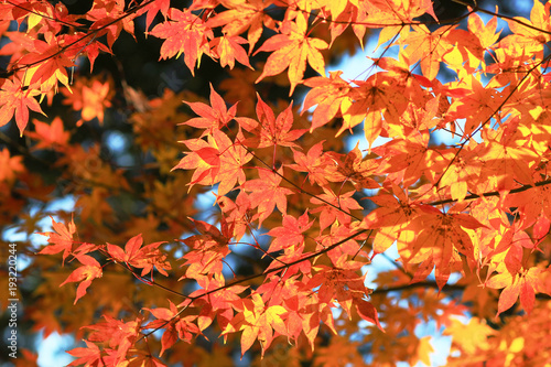 Poster Baksteen maple leaves colorful in autumn at Zuiganzan Enkouji