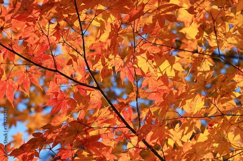 Papiers peints Rouge traffic maple leaves colorful in autumn at Zuiganzan Enkouji