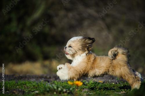 Shih Tzu Puppy Dog Running Through Field Buy Photos Ap Images