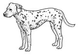 Dalmatian illustration, drawing, engraving, ink, line art, vector