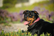 Rottweiler dog lying in field of ice plant