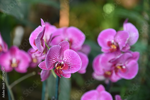 Purpurowa orchidea