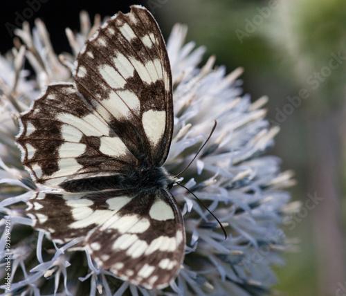 Marbled White (Melanargia galathea), Alpine Sea Holly