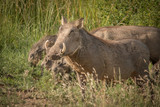 The Warthog Family - 193254834