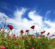 Fields of blossoming red anemones