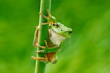 European tree frog, Hyla arborea, sitting on grass straw with clear green background. Nice green amphibian in nature habitat. Wild frog on meadow near the river, habitat. - 193281275