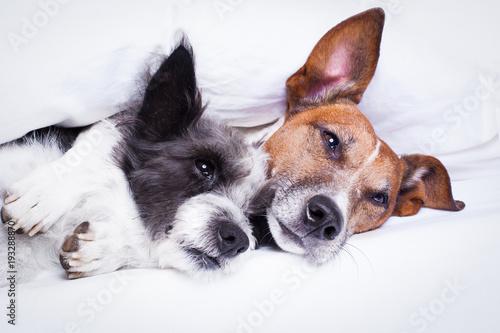 Papiers peints Chien de Crazy couple of dogs in love in bed