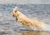Havanese dog swimming - 193289286