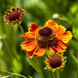 Blanket flower (Gaillardia Hybride) - 193290407