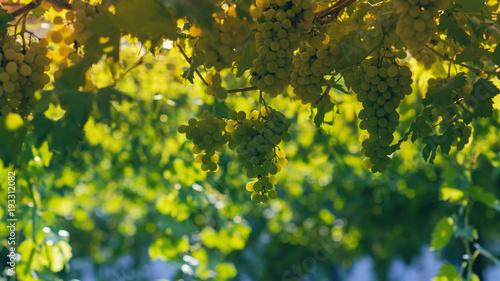 Keuken foto achterwand Wijngaard Vineyard in summer. Close up of bunch of grapes hanging from the vines.