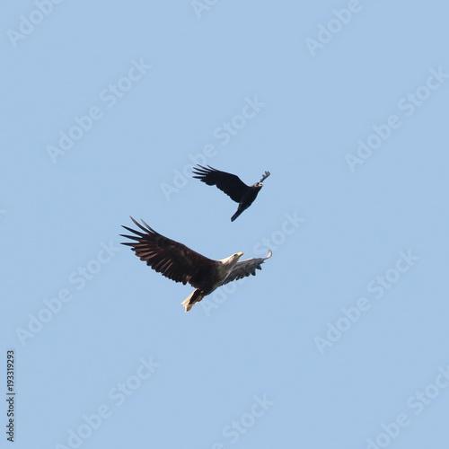 Aluminium Eagle White tailed eagle and raven