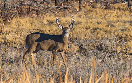 A Large Trophy White-tail Deer Buck Poses in a Field in Colorado