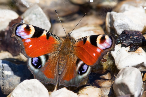 Aluminium Pauw European Peacock butterfly (Inachis io)