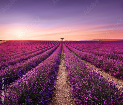 Staande foto Lavendel Lavender and lonely trees uphill on sunset. Provence, France