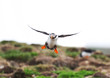 Atlantic Puffin in flight, coming in for a Landing. Newfoundland, Canada