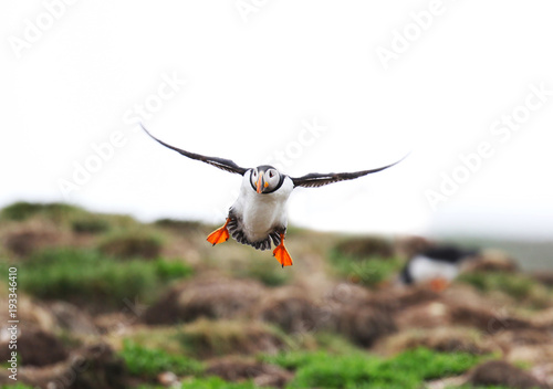 Staande foto Canada Atlantic Puffin in flight, coming in for a Landing. Newfoundland, Canada