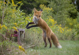 A playful young red fox - 193351067
