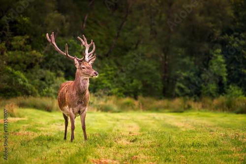 Aluminium Hert Red deer forest