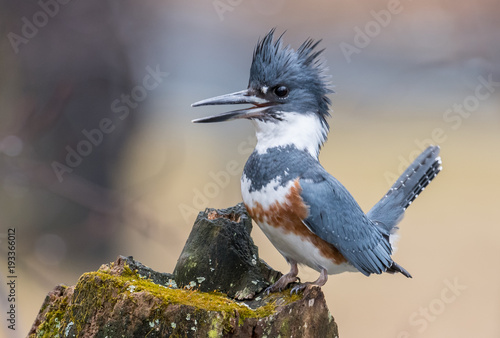 Foto op Canvas Natuur Belted Kingfisher