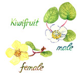 Male and female kiwifruits flowers, hand painted watercolor illustration with inscription isolated on white background - 193392608