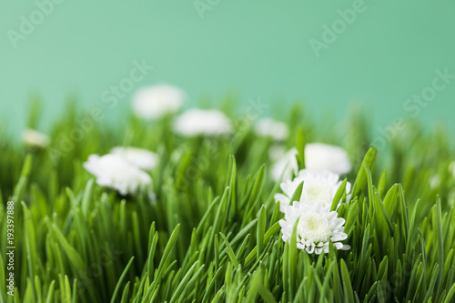 Papiers peints Herbe Closeup view of camomiles and grass on bright green