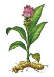 Turmeric botanical hand drawing engraving vintage illustration - 193400077