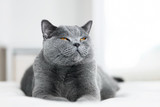 Sweet grey cat laying with eyes closed