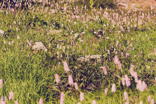 Keuken foto achterwand Pistache Beautiful purple flowers in a mountain area in the green grass on a summer day
