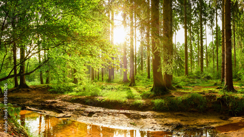 Fototapety, obrazy : Beautiful forest with bright sun shining through the trees