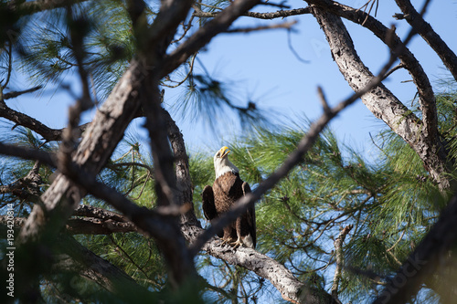 Majestic mature Bald Eagle perched in pine tree in bright sunlight Poster