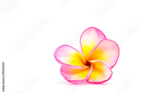 Plexiglas Plumeria Isolated image of plumeria flowers with white, pink and yellow colours in white background