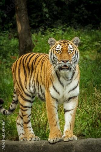Aluminium Tijger Tiger in the jungle