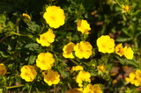 Potentilla aurea yellow flowers with green - 193471209