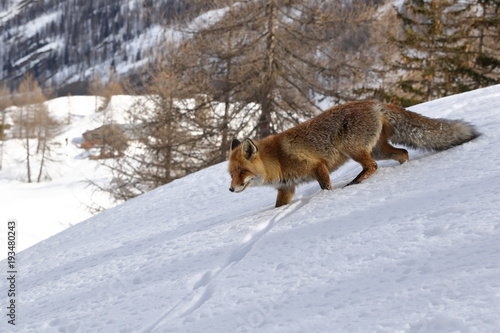 Fototapeta Red fox into the snow
