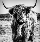 Highland Cattle Black & White