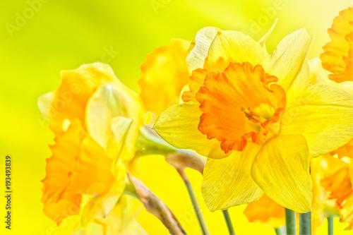 Bukiet żółci wiosen daffodils backlit, zamyka up