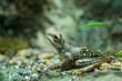 Pine green frog