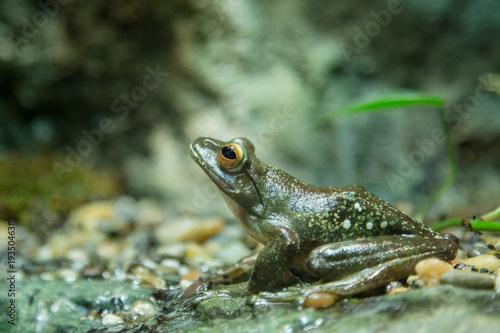 Aluminium Kikker Pine green frog